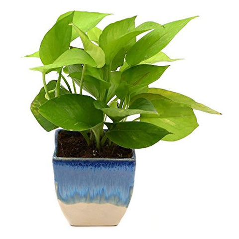 Exotic Golden Pothose with Pot | SpreeIndia.com - India's First Website That Discovers Eco-Friendly Products