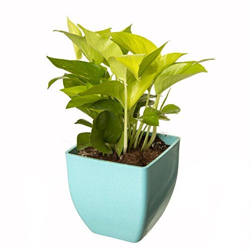 Exotic Green Indoor Oxygen & Air Purifier Plant Golden Pothose in Fiber Pot | SpreeIndia.com - India's First Website That Discovers Eco-Friendly Products
