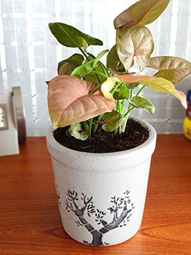 Rolling Nature Good Luck Pink Syngonium Plant | SpreeIndia.com - India's First Website That Discovers Eco-Friendly Products