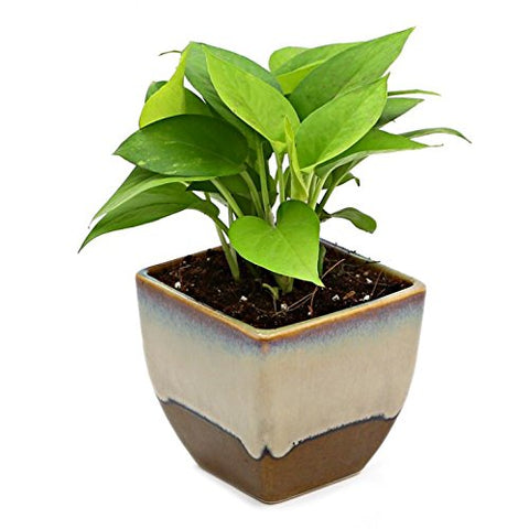 Exotic Green Indoor Oxygen & Air Purifier Plant Golden Pothose in Choco Brown Ceramic Pot | SpreeIndia.com - India's First Website That Discovers Eco-Friendly Products