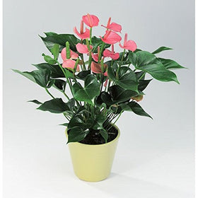 poudha.com Anthurium Pink Outdoor Pink Flowering Plant | SpreeIndia.com - India's First Website That Discovers Eco-Friendly Products