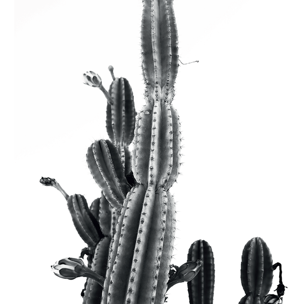 Desert Cactus - The Nest Shop