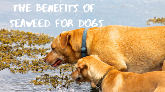 The Benefits of Seaweed for Your Dog