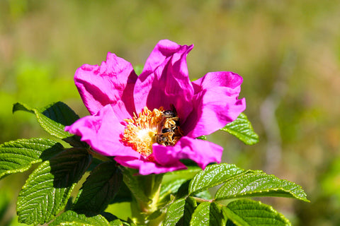 Bees are loving sweet Maine roses.