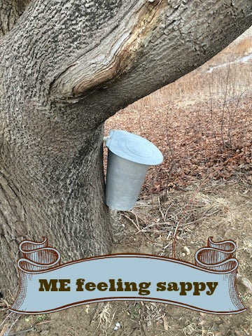 Collecting sap in Maine
