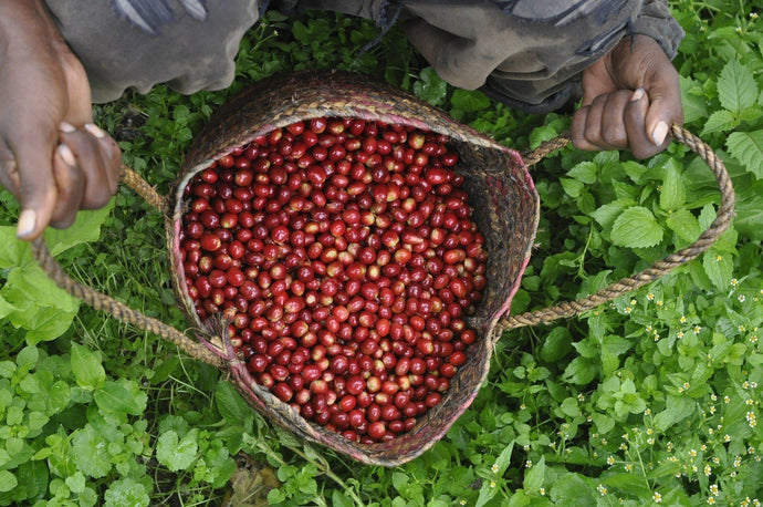 A Glossary Of Coffee Growing And Processing Terms