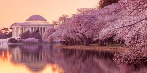 Cherry Blossoms Washington DC, courtesy of Japan-American Society DC