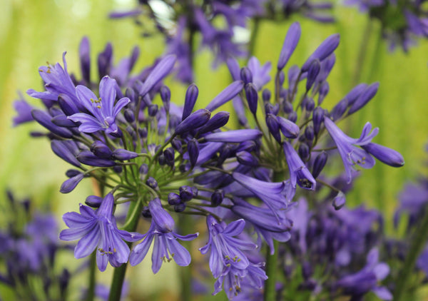 Agapanthus bulbs blue