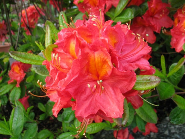 Azalea Bright Delight Mix 3 Plant Pack