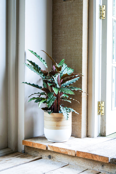 Bamboo White Planter by Ivyline