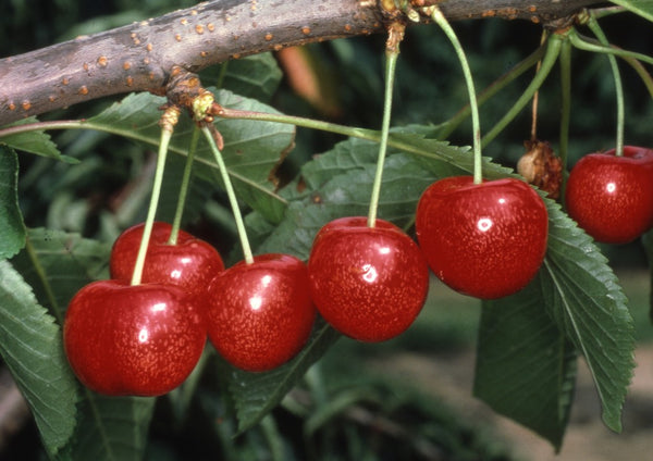 Patio Cherry 'Morello'