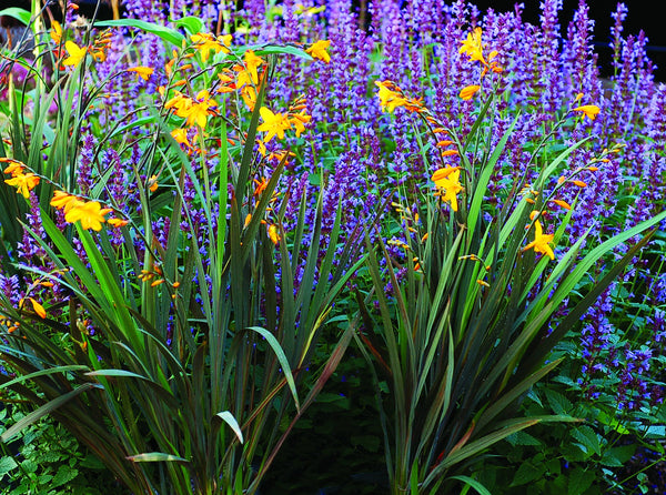 Crocosmia Twilight Fairy Gold Perennial Plant