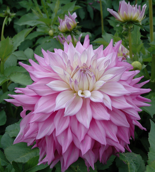 Dahlia Garden Beauty Mix