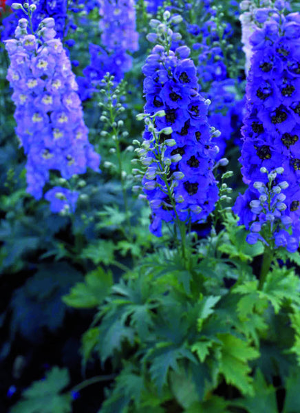 Delphinium Blue Fountains Mix Plants