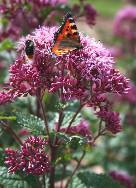 EUPATORIUM PLANT BUTTERFLY BEE FRIENDLY PLANT