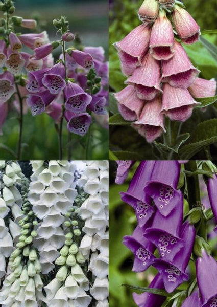 Foxglove Mixed Good Value 6 Pack