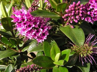 Hebe Sunset Boulevard Shrub Plant