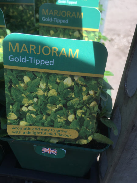 Marjoram Gold-Tipped