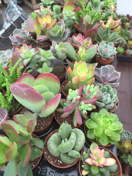 Succulent plant mini mix