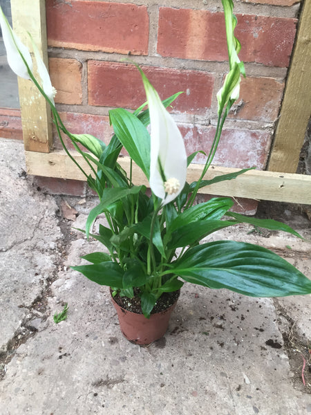 Mini Peace Lily Spathiphyllum