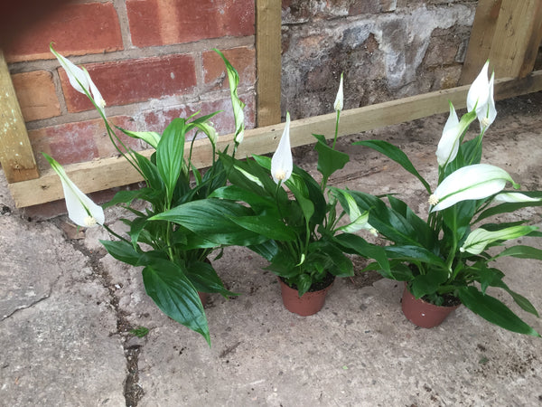 Peace Lily Spathiphyllum Large
