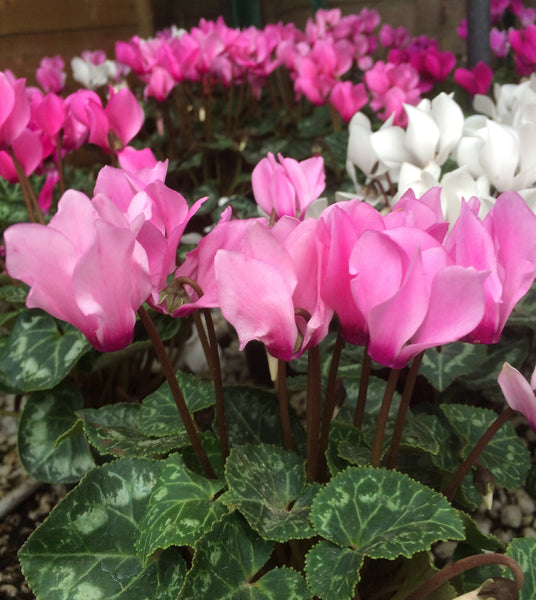 Autumn Mini Cyclamen