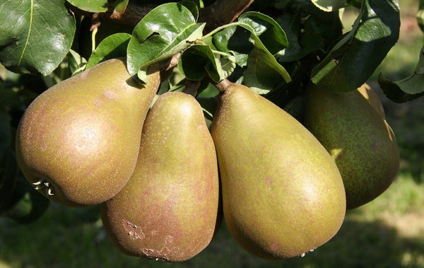 Patio Pear 'Beurre Hardy'
