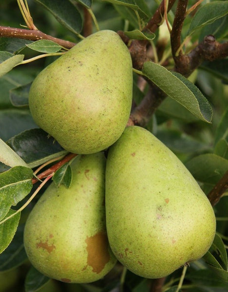 Patio Pear 'Invincible delwinor fertilia '