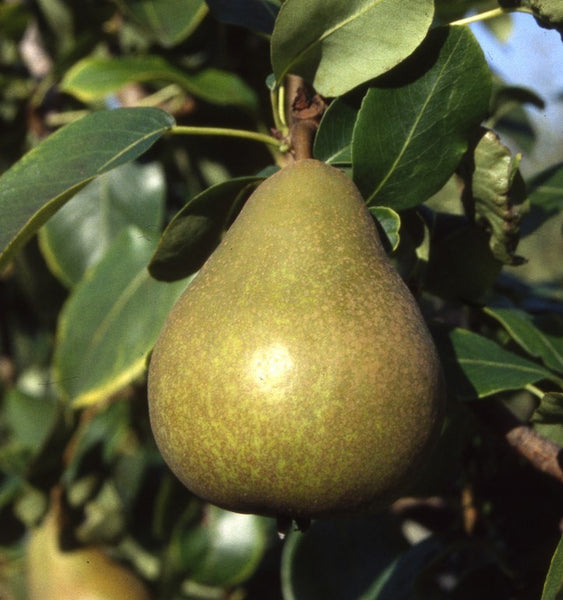 Patio Pear 'Williams' Bon Chretien'
