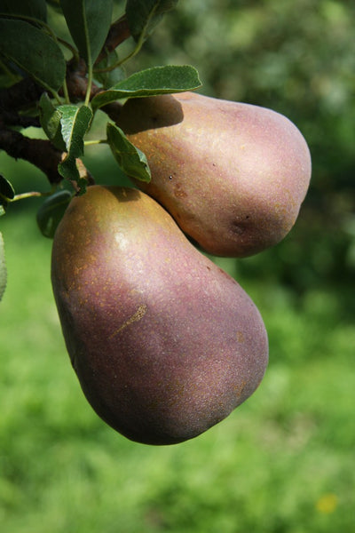 Patio Pear 'Sensation'