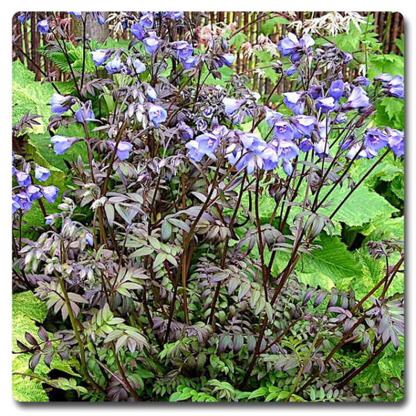 Polemonium Heaven Scent- Jacob's Ladder