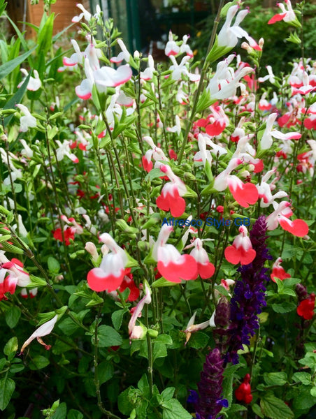 Salvia Hot Lips plant