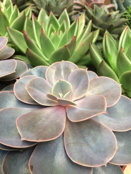 Echeveria Succulent House Plant Medium Mix