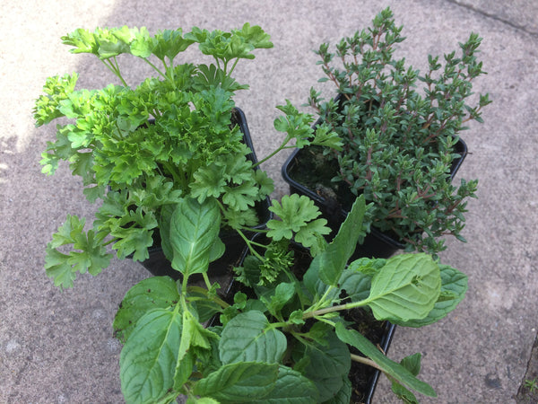 Kitchen Windowsill Herbs