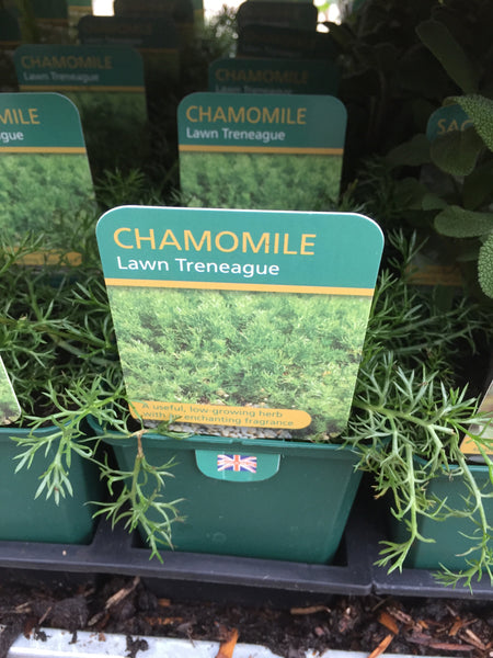 Chamomile Lawn Herb Plant