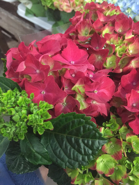 Red Mini Indoor Hydrangea