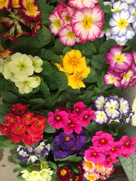 Primula Spring Mix 6 Pack