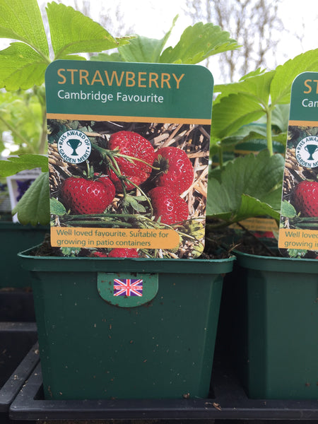 Strawberry Plant Cambridge Favourite