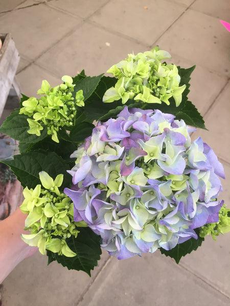 Blue Mini Indoor Hydrangea