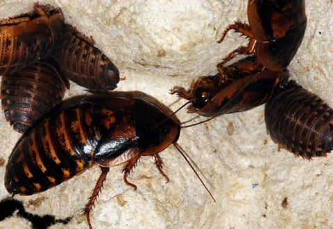Extra Small Dubia Roaches