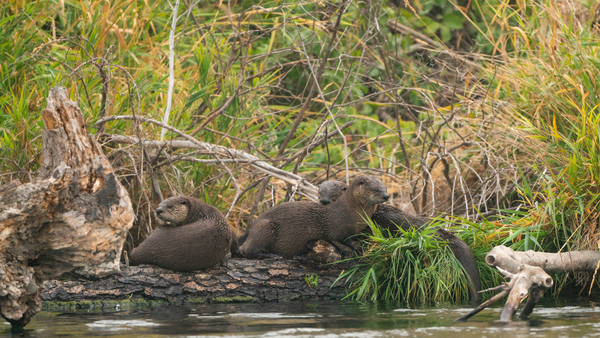 lower deschutes wildlife otters river guided info