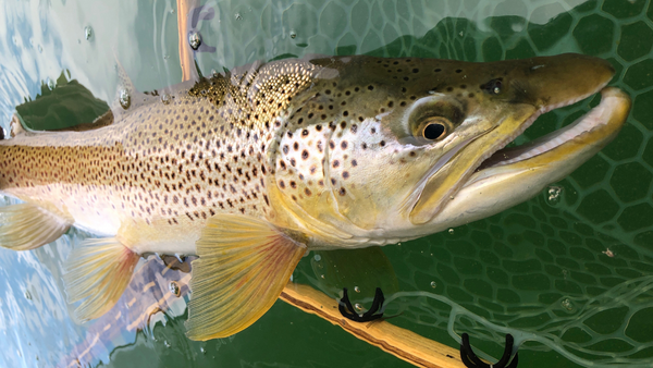 huge wickiup brown trout