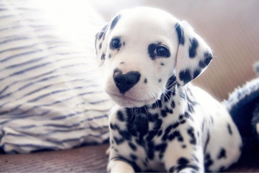 You've never seen a dalmatian like this!