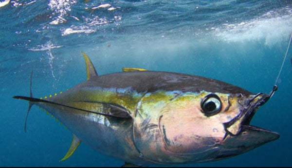 Tuna Fishing Tips and Handy Gear: The Incredible Art of Fishing