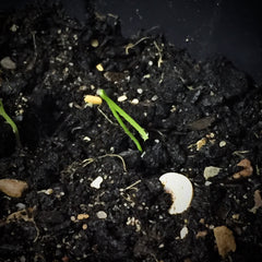 Onion Shoots after 1 week