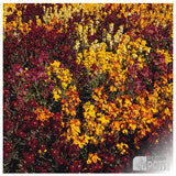 Wallflower Persian Carpet Mixed seeds