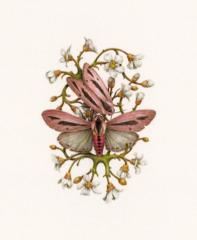 "Courtney Brims - ""Creatonotos Gangis"" - coloured pencil on paper - 13 x 15cm (5.1""x5.9"")"