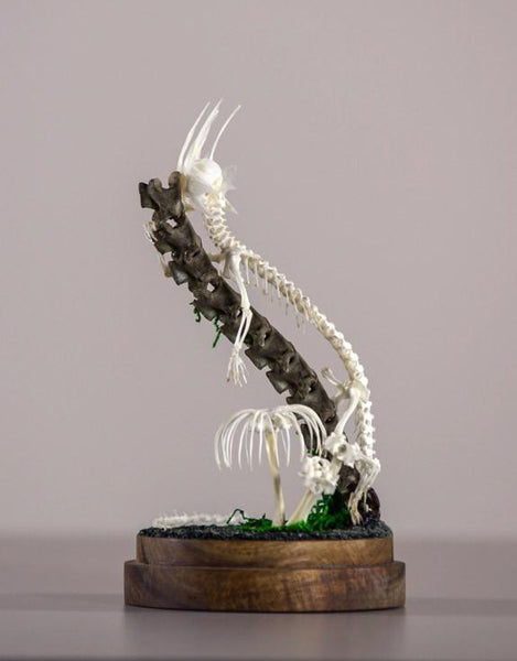 "Gerard Geer - ""Sunbask"" - assorted bird, fish, snake, cane toad, and crocodile bones, crystals, on acacia base under glass dome - 10 x 20cm (3.9""x7.9"")"
