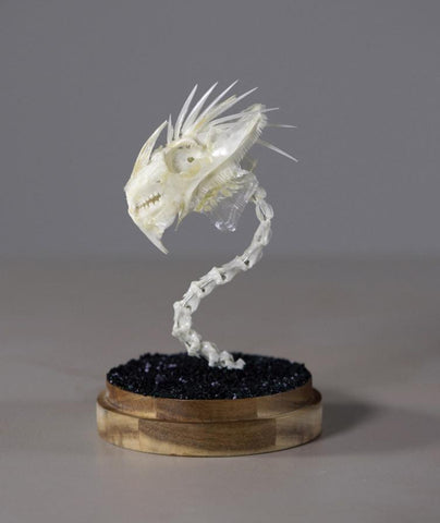 "Gerard Geer - ""Dragon Skull 2"" - assorted fish and bird bones on acacia base under glass dome - 10 x 20cm (3.9""x7.9"")"