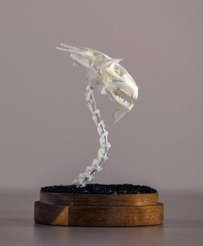 "Gerard Geer - ""Dragon Skull 5"" - assorted fish and bird bones on acacia base under glass dome - 10 x 20cm (3.9""x7.9"")"